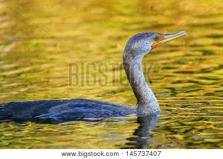 Female Double-crested cormorant (phalacrocorax auritus) swimming in water