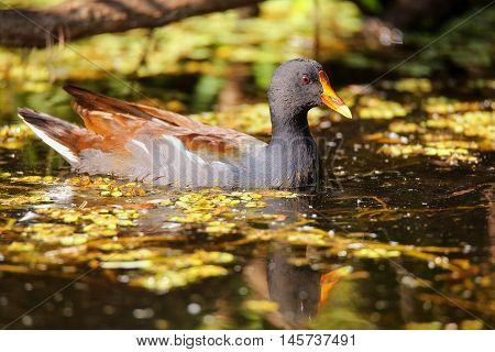 Common moorhen (Gallinula chloropus) swimming) swimming in water