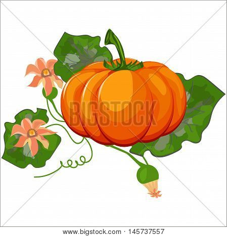 Fresh orange halloween pumpkin isolated on white vector. Orange autumn food fresh pumpkin vegetable holiday decoration. Seasonal ripe isolated pumpkin fresh october halloween symbol.
