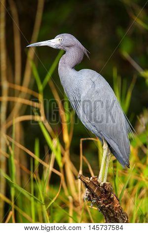 Little Blue Heron In A Swampy Area