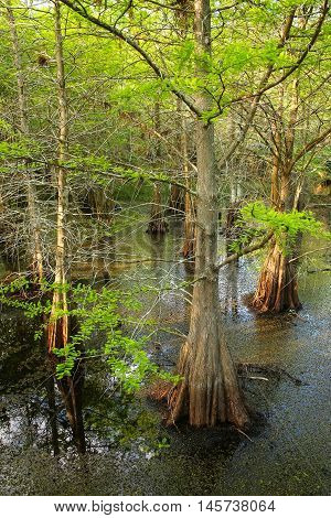 Bald Cypress Trees Growing In A Swampy Area In Florida