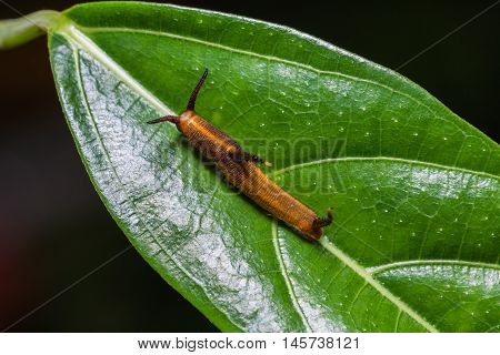 Common Map Caterpillar