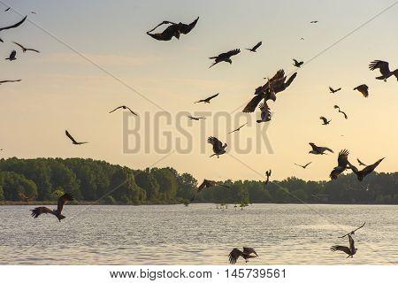 Red Hawk, Brahminy kite (Haliastur indus) flying on sky in Bang Chan, Khlung, Chanthaburi, Thailand