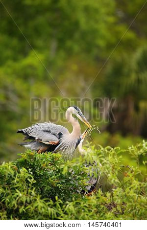 Great Blue Herons Exchanging Nesting Material. It Is The Largest North American Heron.