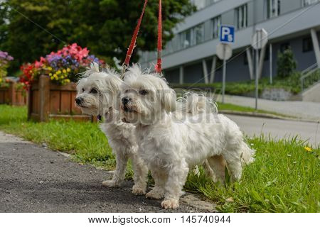 Two Maltese dogs go as a pair at the leash for a walk
