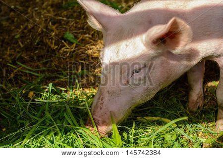 Pig eats with enjoyment fresh grass - Portrait