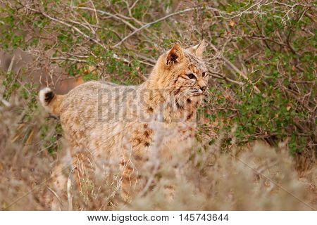 Bobcat (Lynx rufus) standing near bushes, Arizona
