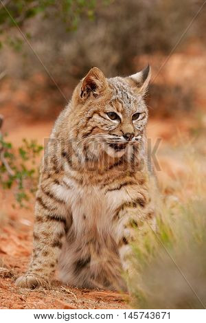 Bobcat Sitting In A Desert