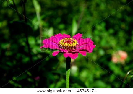 in the summer garden Pink beautiful flower with pretty stamens and pistil on a green background