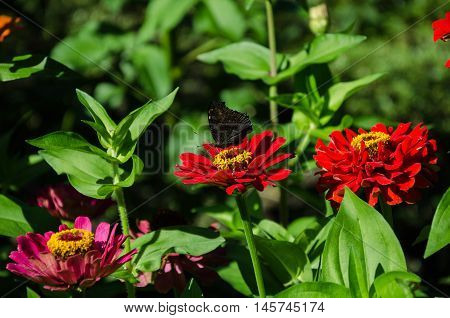 garden butterfly collects nectar on a red beautiful flower with beautiful stamens and pistil