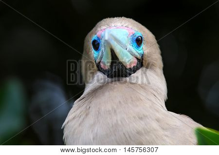 Portrait Of Red-footed Booby (sula Sula)