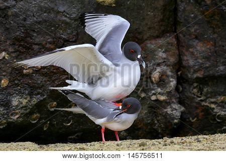 Swallow-tailed Gulls Mating On Genovesa Island, Galapagos National Park, Ecuador