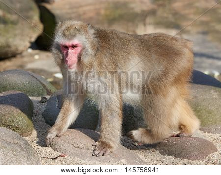 Japanese macaque (Macaca fuscata) walking on rock and sand in its habitat