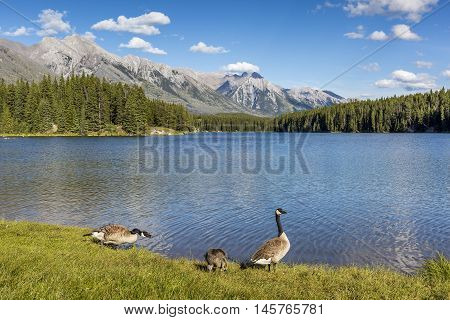 Canada Goose gosling (Branta canadensis) nibbles on some grass as its parents stand guard - Banff National Park Alberta Canada Family