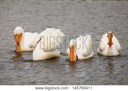 White Pelicans (pelecanus Erythrorhynchos) Feeding