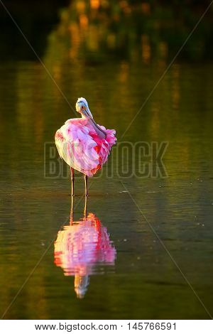 Roseate spoonbill (Platalea ajaja) preening reflected in water