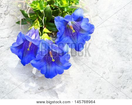 The Trumpet gentian (Gentiana Kochiana) is used in herbal medicine to treat digestive problems, fever, hypertension, muscle spasms, parasitic worms, sinusitis, and malaria. Picture with clipping path.