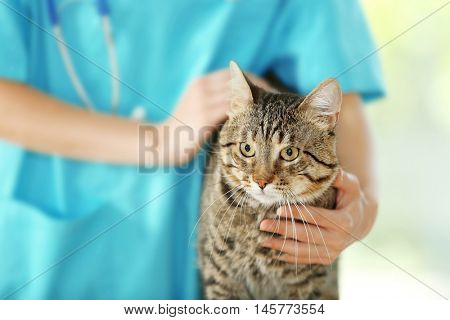 Veterinarian doctor checking cat at a vet clinic