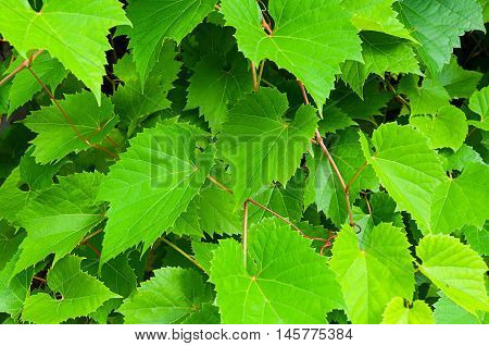 Nature background of grape leaves - in latin Vitis. Bright green grape leaves in the garden. Fresh leaves of grape - closeup view.