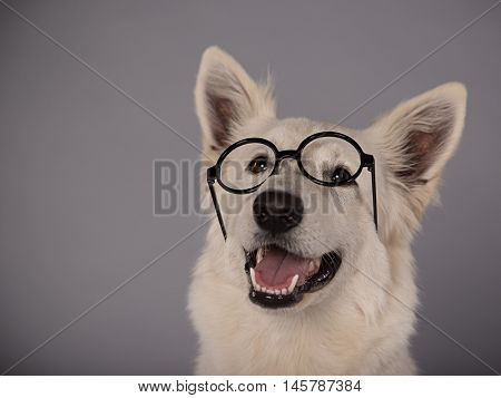 The White Swiss Shepherd dog with black glasses in a studio. Close-up.