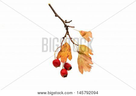 Hawthorn red berry on a white background