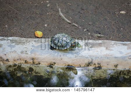 Turtle lying on the edge of the pool is small.
