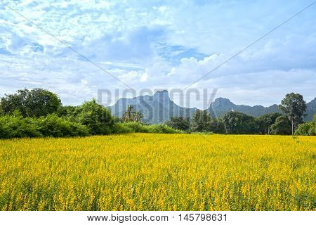 Sunhemp Or Crotalaria Juncea Flower Field With Khao Jeen Lae Mountain Background, Thailand