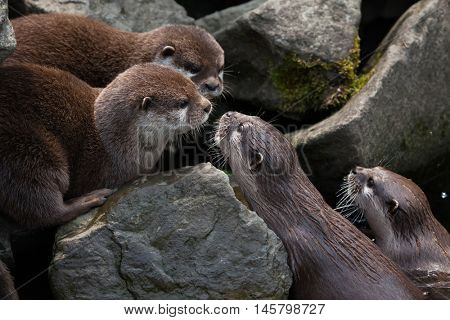 Oriental small-clawed otter (Amblonyx cinerea), also known as the Asian small-clawed otter. Wildlife animal.