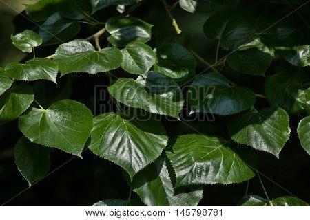 Caucasian linden (Tilia euchlora), also known as the Crimean linden.