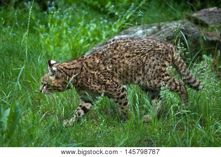 Geoffroy's cat (Leopardus geoffroyi). Wildlife animal.