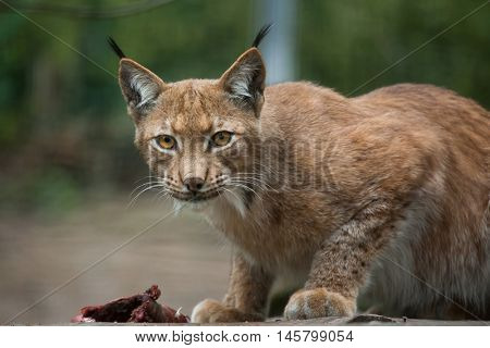 Northern lynx (Lynx lynx lynx). Wildlife animal.