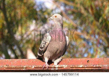 Beady eyed pigeon perched on a roof