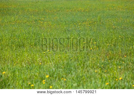 Fresh Background of a green grass. Spring Field texture