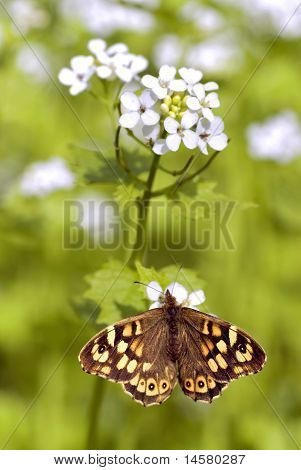 Speckled wood butterfly on flower