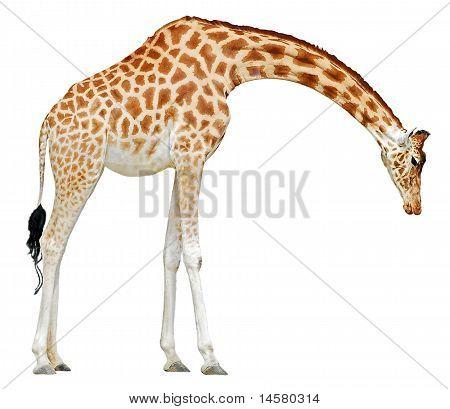 Isolated giraffe