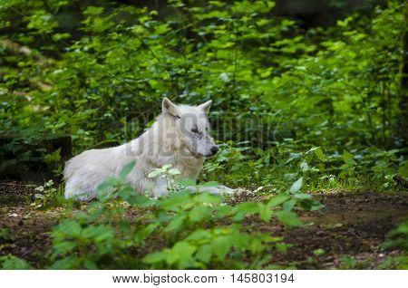 A polar wolf in Werner Freund wolfpark, Merzig, Germany