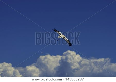 A prey bird flying in semi-captivity near haut-koenigsbourg castle, alsace, France