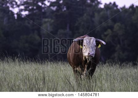 Horned Hereford bull standing in a tall grass pasture