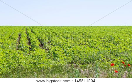 Rows Of Crops On A Green Field