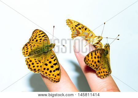 Three Tame Butterfly On Female Finger