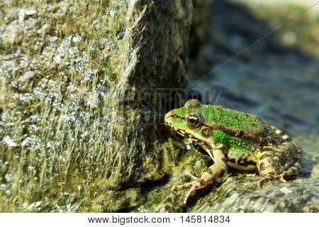 Green Sea Frog On Stone