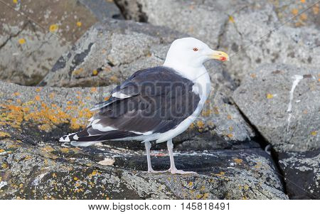 Greater Black-backed Gull (larus Marinus)