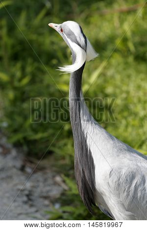An elegant crane damsel bird shows her plumage