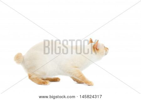 Beautiful Breed Mekong Bobtail Cat Blue eyed, sneaks, Looking up Isolated White Background, Color-point Fur
