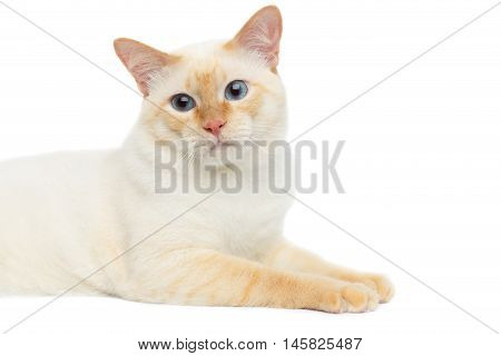 Close-up Beautiful Breed Mekong Bobtail Cat with Blue eyes Lying and Sad Looking, without tail on Isolated White Background, Color-point Fur