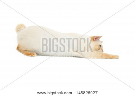 Funny Breed Mekong Bobtail Cat Blue eyed, Hunting, Isolated White Background, Color-point Fur