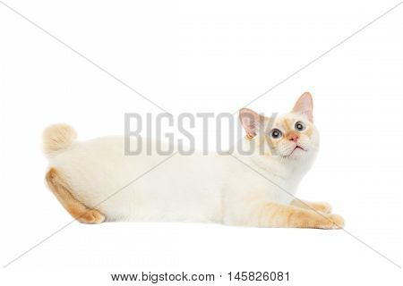 Funny Breed Mekong Bobtail Cat Blue eyed, Hunting, Looking up Isolated White Background, Color-point Fur