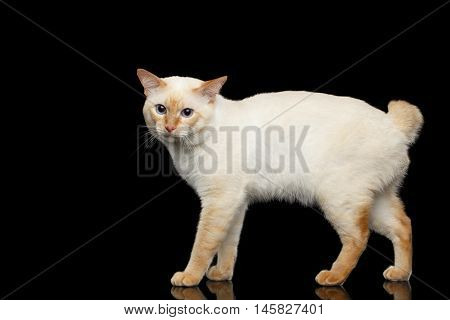 Adorable Breed Mekong Bobtail Cat, Standing and clumsily Looks, Isolated Black Background, Color-point Fur, Side view