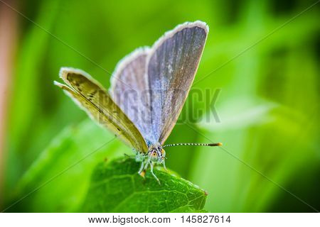 Early morning female Common Blue butterfly, Polyommatus icarus, with brown wings instead of blue is resting in grass.