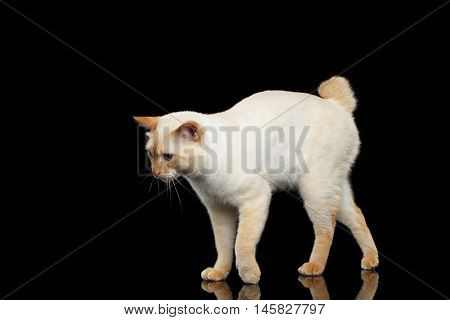 Curious Breed Mekong Bobtail Cat Blue eyed, Standing and Posing, Isolated Black Background, Color-point Fur